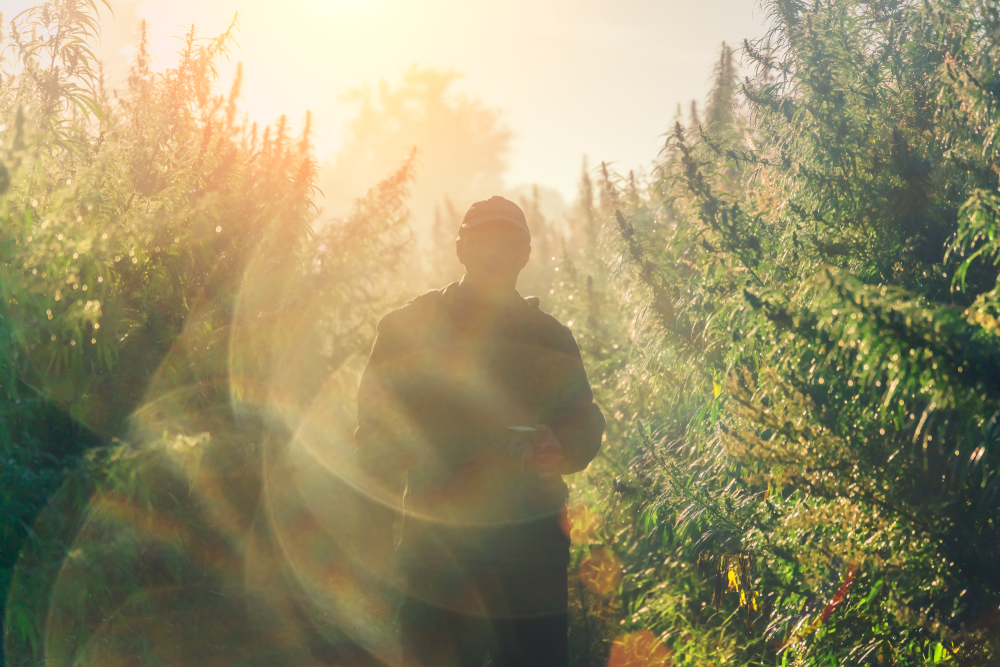 Implementing Sustainability in the Cannabis Industry